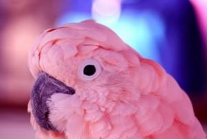 Tolláról ismerni fel a beteg madarat