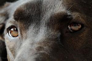 Zöldhályog kutyáknál