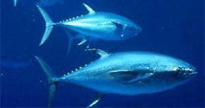 Kékúszójú tonhal