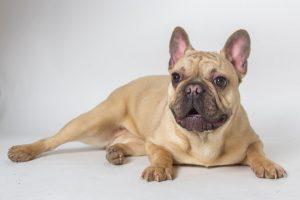 Francia bulldog